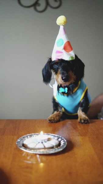 black and brown long coated dog birthday